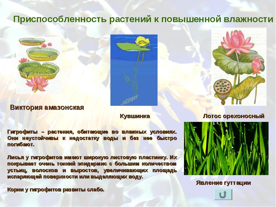 Приспособленность растений к повышенной влажности Лотос орехоносный Виктория...