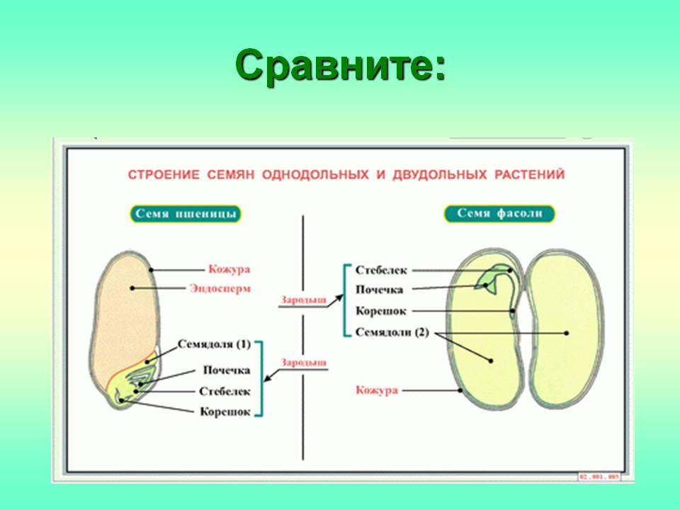 http://900igr.net/datas/biologija/Stroenie-semjan-rastenij/0008-008-Sravnite.jpg