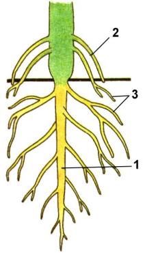 http://900igr.net/datai/biologija/Kornevaja-sistema-rastenij/0001-001-Tema-Vidy-kornej-i-tipy-kornevykh-sistem.png