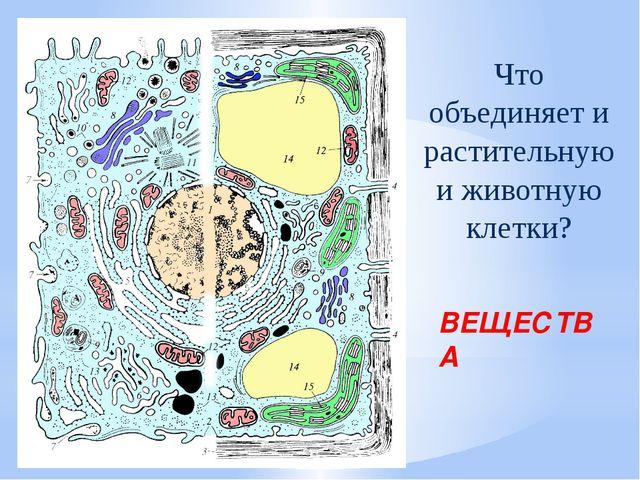 Что объединяет и растительную и животную клетки? ВЕЩЕСТВА