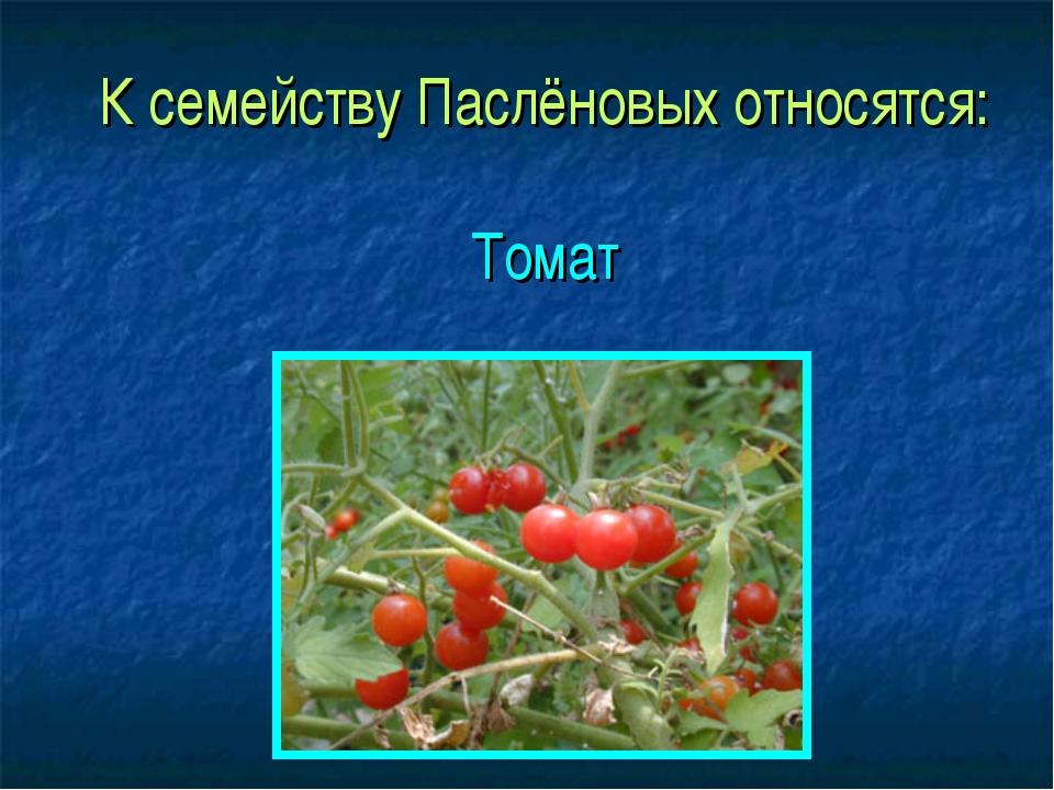К семейству Паслёновых относятся: Томат