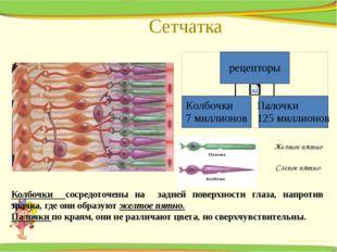 Сетчатка Желтое пятно Слепое пятно Колбочки сосредоточены на задней поверхнос