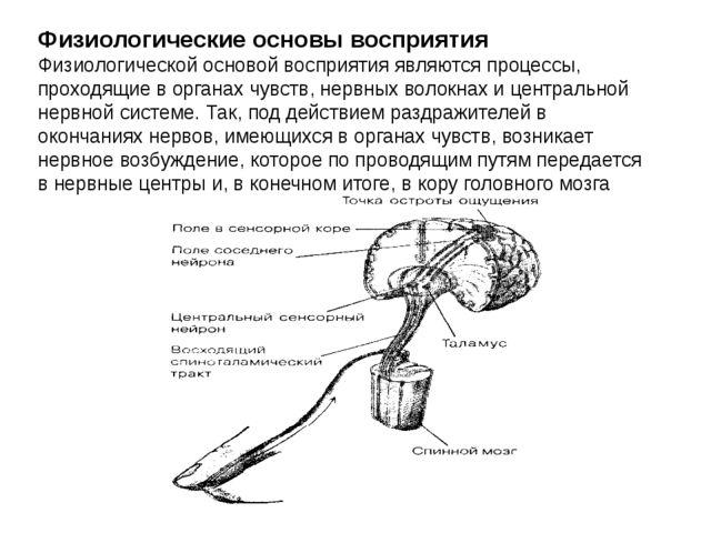 Физиологические основы восприятия Физиологической основой восприятия являются...