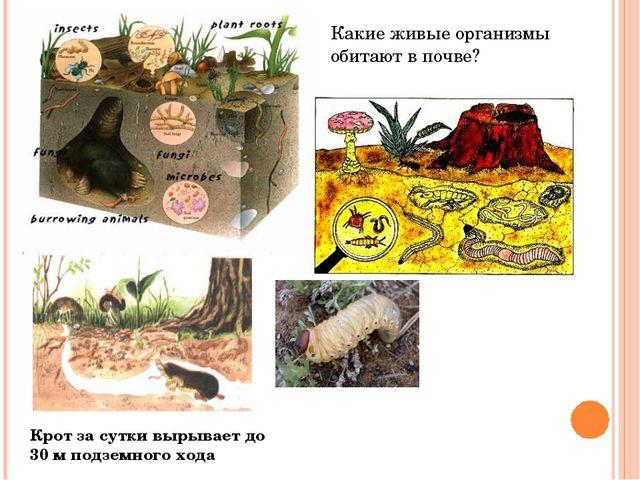 Какие живые организмы обитают в почве? Крот за сутки вырывает до 30 м подземн...