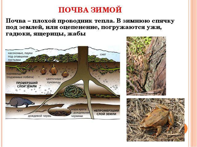 ПОЧВА ЗИМОЙ Почва – плохой проводник тепла. В зимнюю спячку под землей, или о...