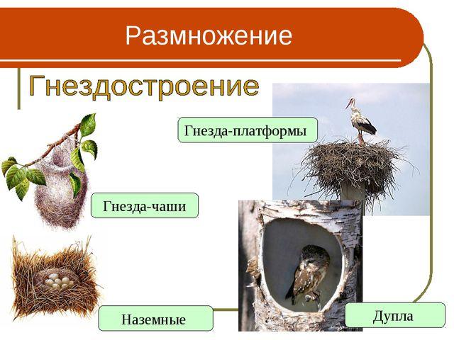 Размножение Наземные Гнезда-чаши Гнезда-платформы Дупла