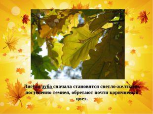 Листья дуба сначала становятся светло-желтыми, постепенно темнея, обретают по