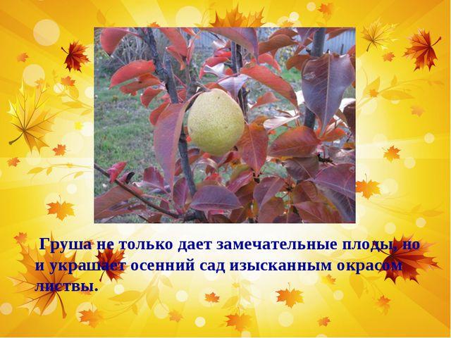 Груша не только дает замечательные плоды, но и украшает осенний сад изысканн...