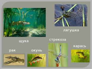 щука рак окунь карась лягушка стрекоза