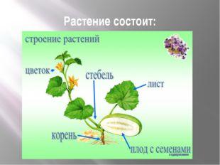 Растение состоит: