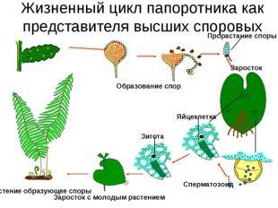 Жизненный цикл папоротника как представителя высших споровых Растение образую
