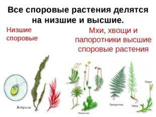 Все споровые растения делятся на низшие и высшие. Низшие споровые Мхи, хвощи