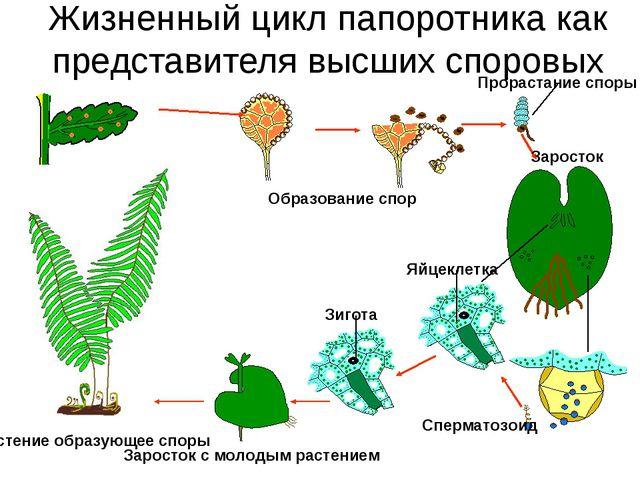 Жизненный цикл папоротника как представителя высших споровых Растение образую...