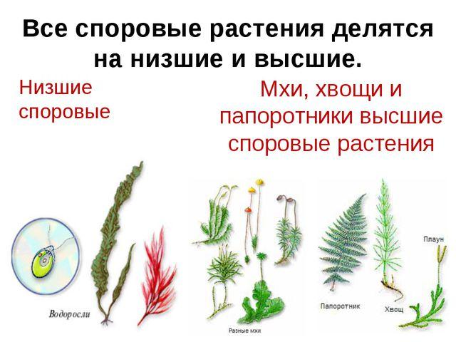 Все споровые растения делятся на низшие и высшие. Низшие споровые Мхи, хвощи...