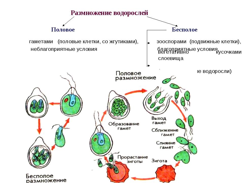 Размножение водорослей Половое Бесполое гаметами (половые клетки, со жгутикам...