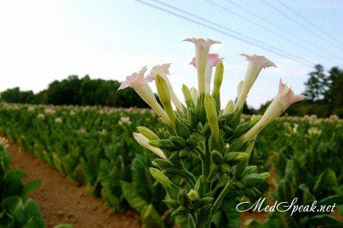 Табак - цветок зла