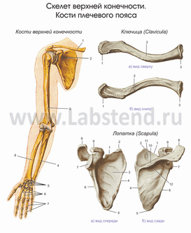 http://labstand.ru/upload/anatomy/Anatomy97_0021.png