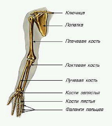 http://anatomy_atlas.academic.ru/pictures/anatomy_atlas/ac1/50.jpg