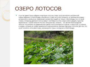 ОЗЕРО ЛОТОСОВ И не так давно были найдены плантации лотосов, озеро лотосов в