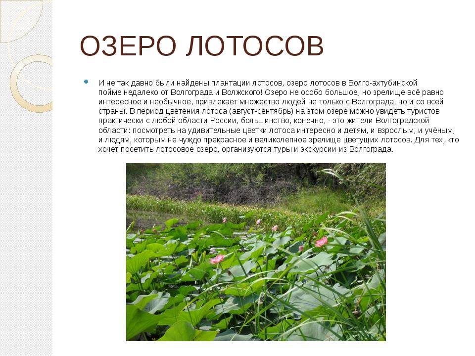ОЗЕРО ЛОТОСОВ И не так давно были найдены плантации лотосов, озеро лотосов в...