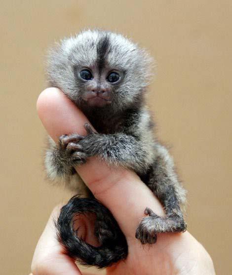 Карликовые игрунки - самые маленькие обезьяны. Обсуждение на LiveInternet - Российский Сервис Онлайн-Дневников