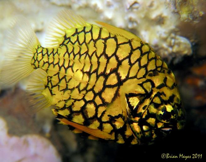 Рыба-ананас
