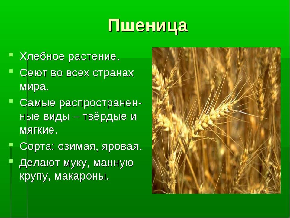 Пшеница Хлебное растение. Сеют во всех странах мира. Самые распространен-ные...