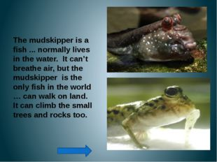 The mudskipper is a fish ... normally lives in the water. It can't breathe a