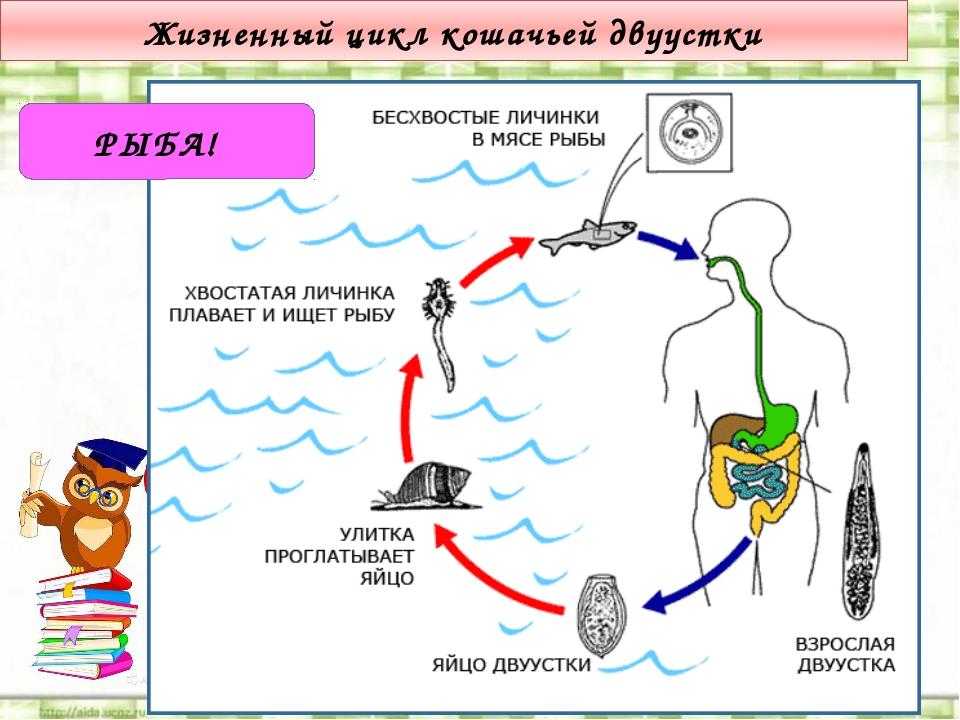 Жизненный цикл кошачьей двуустки РЫБА!