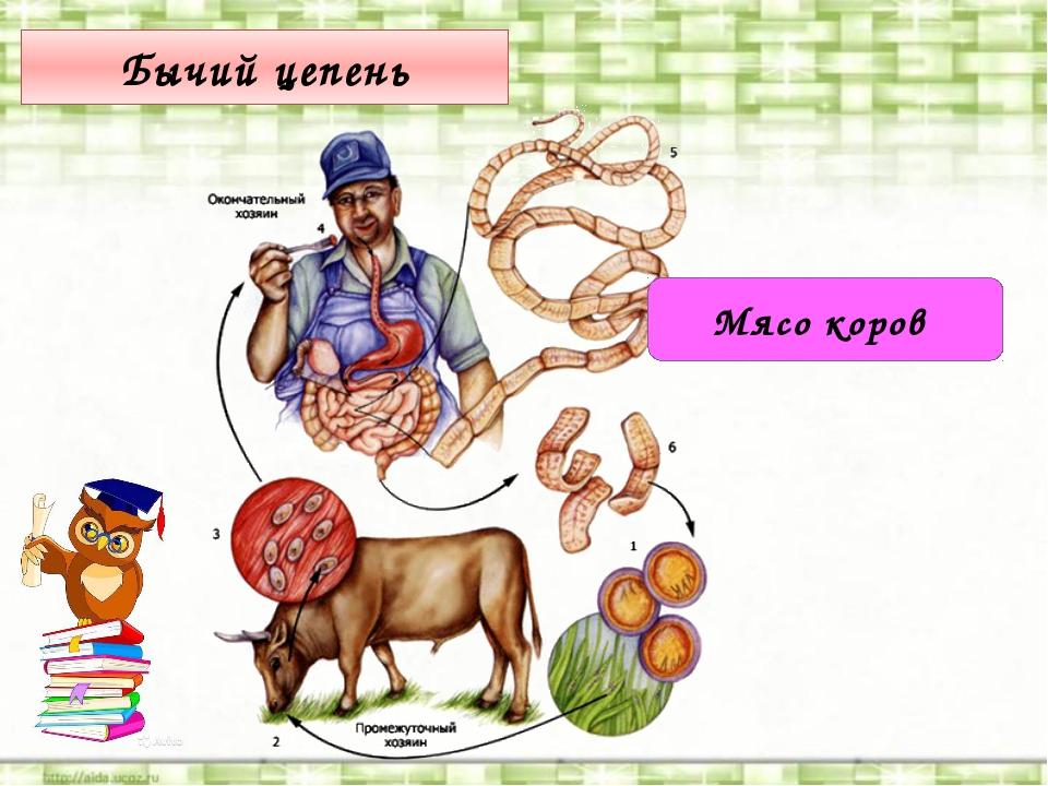 Бычий цепень Мясо коров