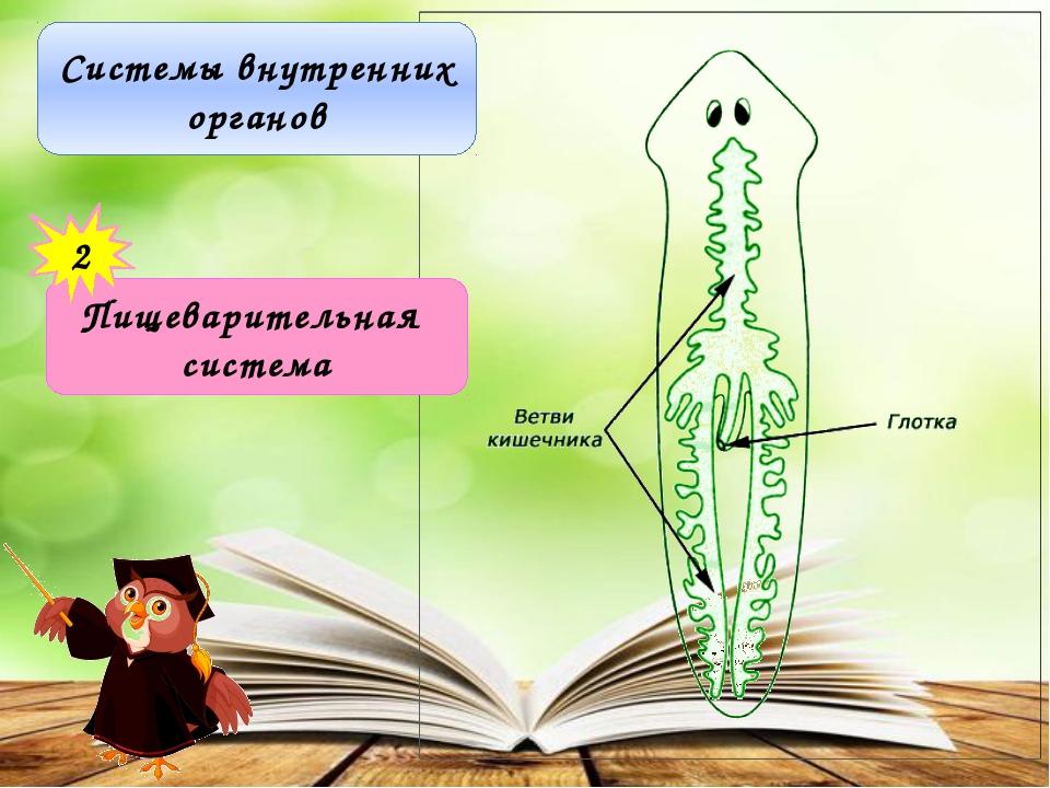 Системы внутренних органов Пищеварительная система 2