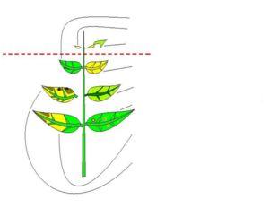 Жаңа жапырақ Ескі жапырақ Қалыпты жапырақ Азот жетіспеген кезде K,Mg жетіспе