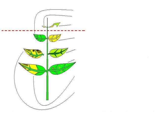 Жаңа жапырақ Ескі жапырақ Қалыпты жапырақ Азот жетіспеген кезде K,Mg жетіспе...