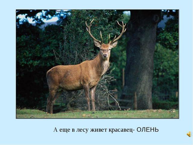 А еще в лесу живет красавец- ОЛЕНЬ