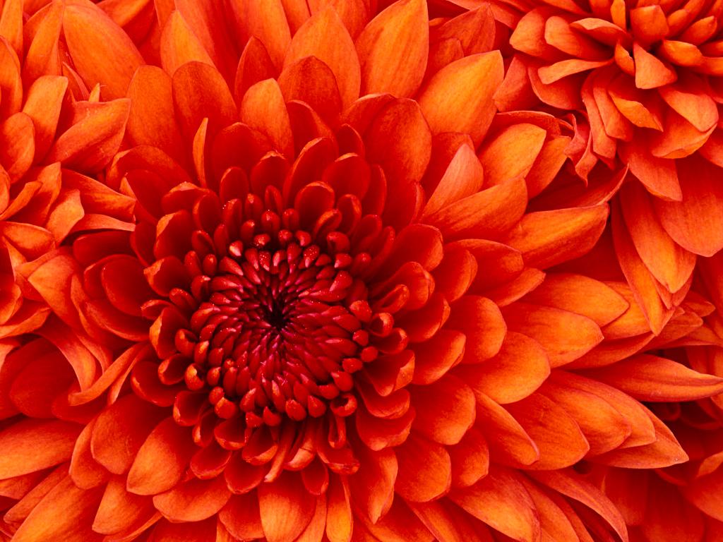 C:\Users\Public\Pictures\Sample Pictures\Chrysanthemum.jpg