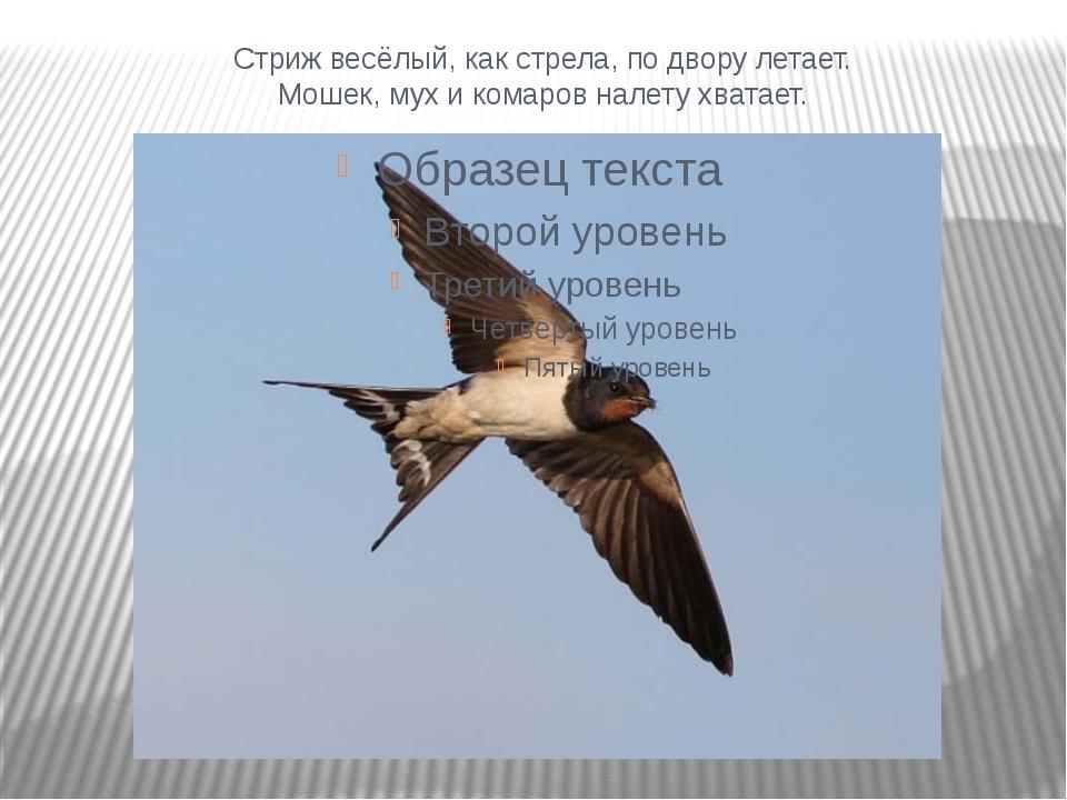Стриж весёлый, как стрела, по двору летает. Мошек, мух и комаров налету хвата...