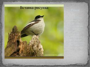 Голос Песня — щебетание «пичи-пичи-кули-личи» или «цитру-цитру-три-крути-три»