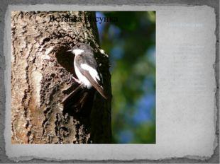 Местообитание Мухоловка-пеструшка распространена в лесах Европы и на прилегаю