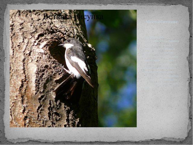 Местообитание Мухоловка-пеструшка распространена в лесах Европы и на прилегаю...