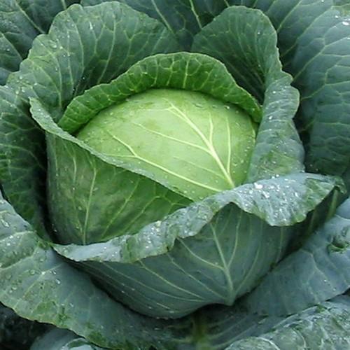 Позднеспелые сорта белокочанной капусты