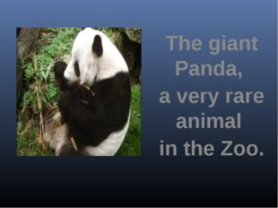 The giant Panda, a very rare animal in the Zoo.