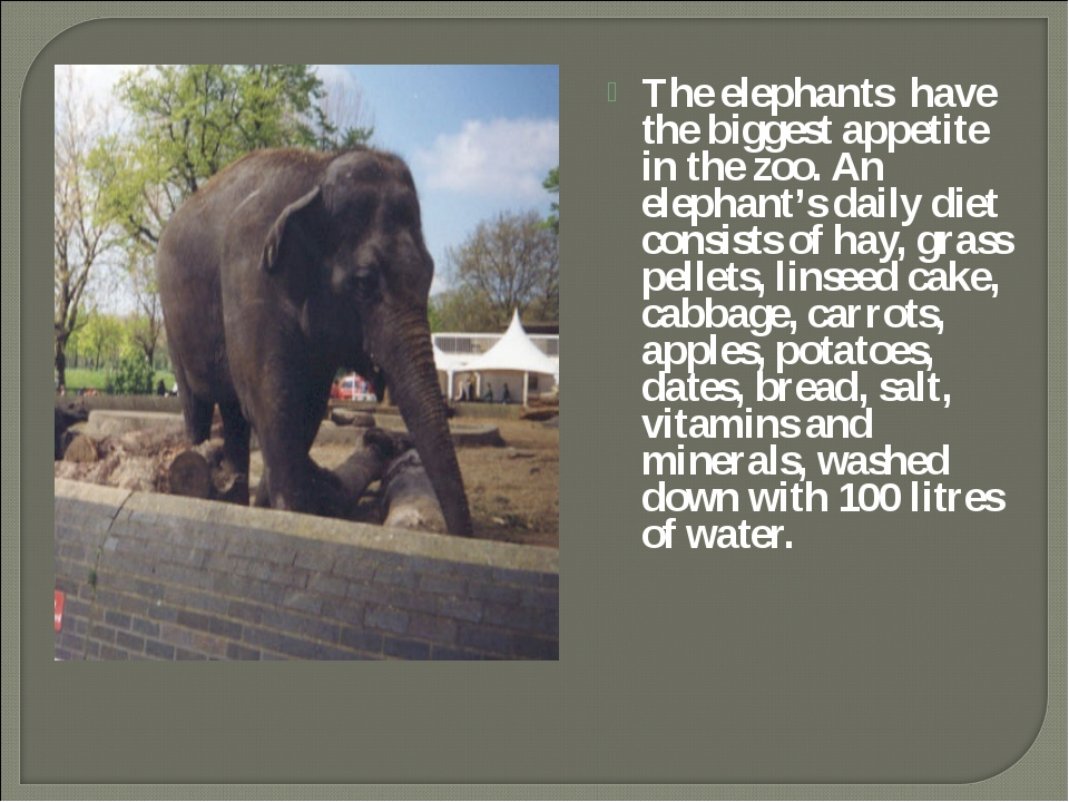 The elephants have the biggest appetite in the zoo. An elephant's daily diet...