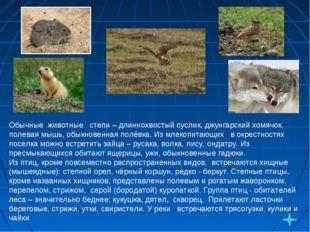 Обычные животные степи – длиннохвостый суслик, джунгарский хомячок, полевая