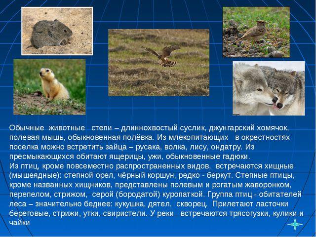 Обычные животные степи – длиннохвостый суслик, джунгарский хомячок, полевая...