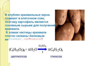 В клубнях крахмальные зерна плавают в клеточном соке, поэтому картофель являе