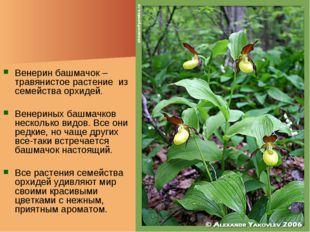 Венерин башмачок – травянистое растение из семейства орхидей. Венериных башма