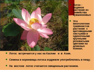 Лотос встречается у нас на Каспии и в Азии. Семена и корневища лотоса издревл