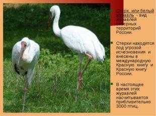 Стерх, или белый журавль - вид журавлей северных территорий России. Стерхи на