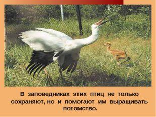 В заповедниках этих птиц не только сохраняют, но и помогают им выращивать по