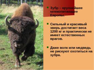 Зубр – крупнейшее млекопитающее Европы. Сильный и красивый зверь достигает ве
